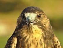 Cabeça do falcão Fotografia de Stock