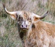 Cabeça do gado das montanhas fotografia de stock