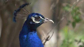 Cabeça do galo do perfil azul do pavão do pássaro vídeos de arquivo