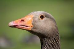 Cabeça do ganso Fotos de Stock Royalty Free