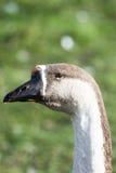 Cabeça do ganso Imagem de Stock Royalty Free