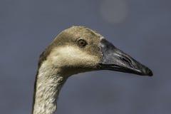 Cabeça do ganso da cisne no fim acima contra o fundo liso limpo Foto de Stock Royalty Free