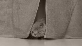 Cabeça do gatinho vista através das cortinas video estoque