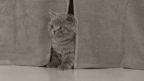 Cabeça do gatinho vista através das cortinas vídeos de arquivo