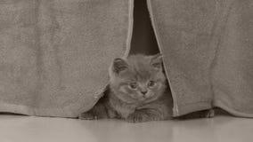 Cabeça do gatinho vista através das cortinas filme