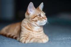 Cabeça do gato girada certo Imagens de Stock Royalty Free