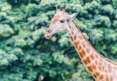 Cabeça do girafa. Imagens de Stock