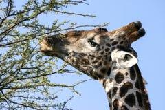 Cabeça do girafa fotos de stock