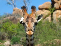 Cabeça do girafa Foto de Stock