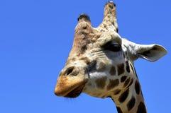 Cabeça do girafa imagem de stock