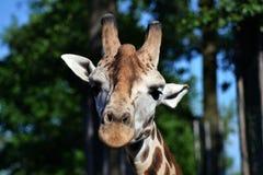 Cabeça do girafa fotos de stock royalty free