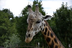 Cabeça do girafa Fotografia de Stock Royalty Free