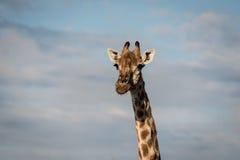 Cabeça do girafa Imagens de Stock Royalty Free