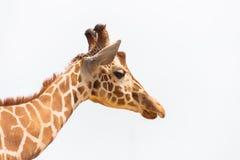 Cabeça do girafa isolada no fundo branco Fotos de Stock