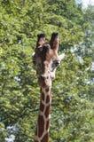 Cabeça do girafa na frente das árvores verdes Imagem de Stock Royalty Free