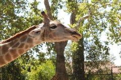 Cabeça do girafa no primeiro plano fotos de stock