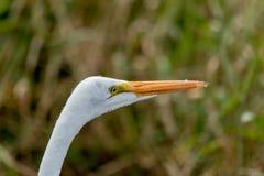 A cabeça do grande Egret Fotos de Stock