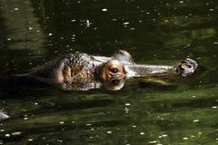 Cabeça do hipopótamo acima da água Fotos de Stock Royalty Free