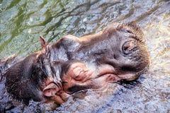 Cabeça do Hippopotamus na água imagens de stock royalty free