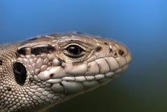 Cabeça do lagarto Imagem de Stock Royalty Free