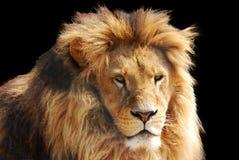 Cabeça do leão Imagem de Stock Royalty Free