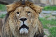 Cabeça do leão Fotos de Stock Royalty Free