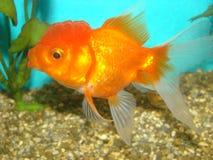 Cabeça do leão do goldfish do auratus do Carassius Imagens de Stock Royalty Free
