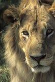 Cabeça do leão, macho fotografia de stock royalty free