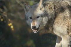 Cabeça do lobo Imagem de Stock