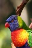 Cabeça do lorikeet do arco-íris Imagens de Stock