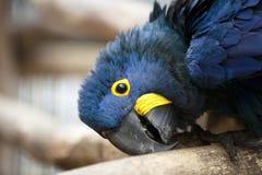 Cabeça do Macaw do Hyacinth fotos de stock royalty free