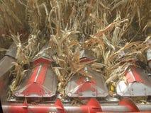 Cabeça do milho do milho da colheita mecanizada imagem de stock