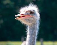 Cabeça do pássaro da avestruz do close up e retrato dianteiro do pescoço outdoors imagens de stock royalty free