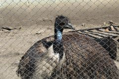 Cabeça do pássaro da avestruz e retrato dianteiro do pescoço no parque, avestruz do close up com olhos vermelhos e vista surpreen imagens de stock royalty free
