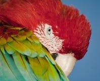 Cabeça do pássaro, retrato colorido do papagaio Fundo colorido da natureza Imagens de Stock