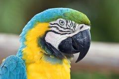 Cabeça do papagaio Foto de Stock
