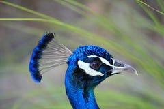 Cabeça do pavão Foto de Stock Royalty Free