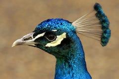Cabeça do pavão Foto de Stock