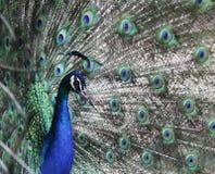 Cabeça do pavão contra o fundo das penas de cauda Fotos de Stock