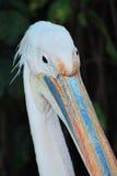 Cabeça do pelicano Foto de Stock Royalty Free