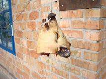Cabeça do porco Foto de Stock Royalty Free