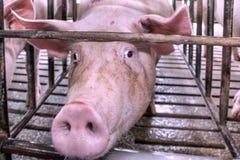 Cabeça do porco em uma gaiola Imagem de Stock Royalty Free