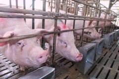 Cabeça do porco em uma gaiola Imagem de Stock
