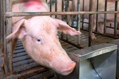 Cabeça do porco em uma gaiola Foto de Stock