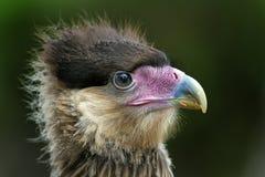 Cabeça do retrato de uma águia foto de stock