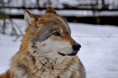 Lobo europeu - lúpus do lúpus de Canis Foto de Stock