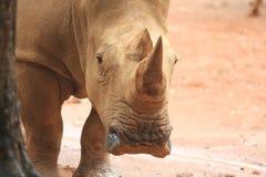 Cabeça do rinoceronte foto de stock