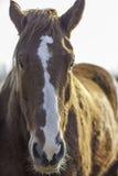 Cabeça do ` s do cavalo do perfurador do Suffolk mostrada no fim acima do retrato Fotografia de Stock Royalty Free