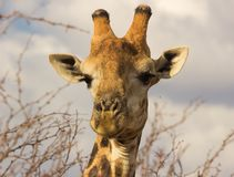 Cabeça do `s do Giraffe imagem de stock royalty free