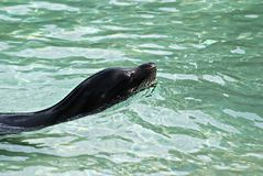 A cabeça do selo escapa da água Imagem de Stock